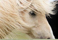 Close-up of Icelandic Horse - Iceland.