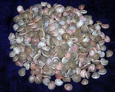 "1/2 Pound Of Pink Umbonium Sea Shells Beach Decor Nautical Craft Tropical FOR SALE • $4.29 • See Photos! Money Back Guarantee. ONE (1) HALF POUND PINK UMBONIUM SEA SHELLS 1/4"" to 1/2"" APPROXIMATELY 400 SHELLS IN A HALF POUND GREAT FOR ALL KINDS OF CRAFTS \ I WILL COMBINE SHIPPING PLEASE 221811070717"