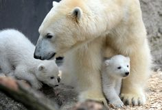 Two 14-week-old polar bear twins explore their enclosure for the first time at the Hellabrunn Zoo in Munich, Germany