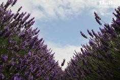 Hitchin Lavender, Herfordshire