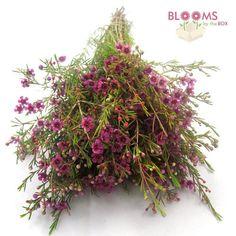 Wholesale Wax Flower Purple - waxflower - Blooms by the Box