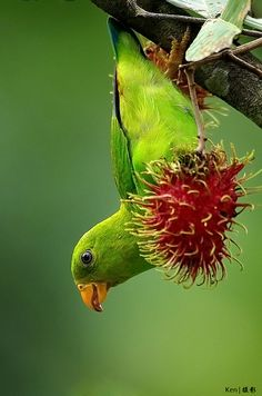 Vernal hanging parrot. 〰❦〰 Hey, that's a rambutan he's eating, which is one of my favorite fruits!!