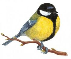Bird Illustration, Watercolor Illustration, Pretty Birds, Beautiful Birds, Watercolor Bird, Watercolor Paintings, Parus Major, Bird Artwork, Felt Birds