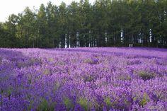 Furano, Hokkaido, Japan ( for the lavender fields)