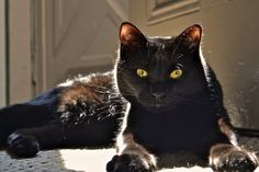 Lou by Griffin McGrath Fluffy Black Cat, Black Cat Eyes, Baby Cats, Cats And Kittens, Animals And Pets, Cute Animals, Animal Pictures, Cat Lovers, Dog Cat