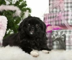 Need Ideas for Dog Toys for the Holidays? http://www.pekinews.com/perfect-pekingese-dog-toys-for-the-holidays/