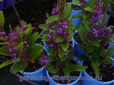 Hardenbergia Bushy Blue Hardenbergia, False Sarsparilla Plant Type:  small shrub, ground cover Flower Colour:  purple, mauve Flowering Time:  spring, winter Plant Usage:  feature plant, border plant Lifespan: perennial Plant Environment:  low maintenance garden, courtyard, ottage garden, flower garden, , drought resistant Soil Type: sandy, clay, loamy,potting mix Soil Moisture well-drained Light: sunny Climate Zone: warm temperate, cool temperate, Mediterranean, cool Mildly acid/neutral