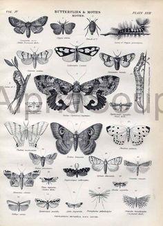 Butterfly Moths E Original Antique Print  Pebble Prominent Noctua Imperator 1881 Encyclopaedia Britannica Rare 9th Edition. $11.00, via Etsy.