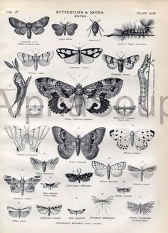 Butterfly Moths E Original Antique Print  Pebble Prominent Noctua Imperator 1881 Encyclopaedia Britannica Rare 9th Edition. $11.00, via Etsy.