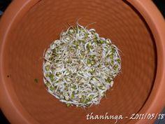 Máy Làm Giá Đỗ: tại sao làm giá đỗ bằng máy trồng rau mầm bị gầy v...
