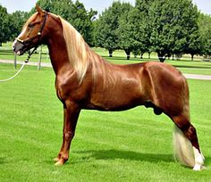 Tennessee Walking Horse stallion, Victory Number 9.
