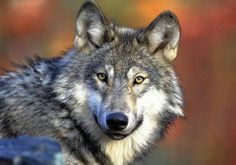 Researchers find gray wolf-grizzly bear link in Yellowstone The gray wolf's return to Yellowstone after a 70-year absence has boosted an important food source for the threatened grizzly bear, a study finds.