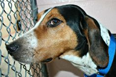 #OHIO ~ Kurt is a housetrained Hound who's UTD vaccines & in need of a loving #adopter at the no-kill WOOD COUNTY HUMANE SOCIETY 801 Van Camp Rd #BowlingGreen OH 43402 Ph 419-352-7339