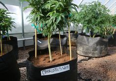 On The Beat: Medical Marijuana - LawOfficer.com