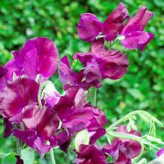 FLOWER SWEET PEA  WINSTON CHURCHILL 70 FINEST SEEDS