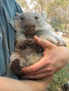 """My human. Mine!"" Click on the photo to see the cutest pics of these big lumps of LOVE! (Wombat)"