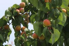 In August to a multitude of fruits with the particularity of having fine flesh, melting, fragrant, juicy but above all, a true treat Prunus, Pots, Pink Fruit, Powdery Mildew, Fruit Flies, Single Tree, Potting Soil, Harvest, Apples