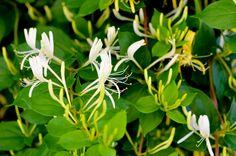 Caprifoiul - Mana Maicii Domnului    Caprifoiul este o plantă agăţătoare puţin pretenţioasă, putând decora cu brio locuri din grădină unde nu există prea multe soluţii.    Rezistă foarte bine la ger. Lush Beauty, Natural Beauty, Patio Plans, Garden Trees, Fruits And Vegetables, Permaculture, Digital Prints, Plant Leaves, Home And Garden