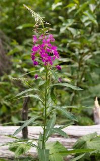 Fireweed. Glacier National Park. July 2012. Pat Snyder Photo.