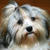 Some of the things I love about the Smart Havanese Puppies Havanese For Sale, Havanese Puppies, Baby Puppies, Dogs And Puppies, Havanese Haircuts, Havanese Grooming, Havanese Full Grown, I Love Dogs, Cute Dogs