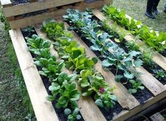 Use a pallet for a veggie garden
