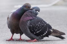 Pigeon mates sweetly preen each other. (If you see a pair of pigeons doing this, they are married!) Photo from MickaCoo Pigeon & Dove Rescue | rescuing and rehoming domestic pigeons and doves in the San Francisco Bay Area. Visit http://www.pigeonrescue.org/