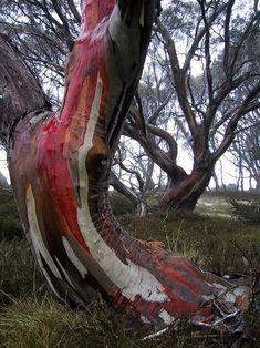 A Snowgum tree in Tasmania. All Nature, Nature Tree, Amazing Nature, Nature Pics, Landscape Photography, Nature Photography, Photography Flowers, Rainbow Eucalyptus Tree, Weird Trees