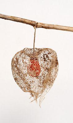 seed pod - Chinese Lantern