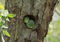 Periquito de Anteojos, Spectacled Parrotlet (Forpus conspicillatus) en el nido que dejó una pareja de carpinteros. by jjarango, via Flickr