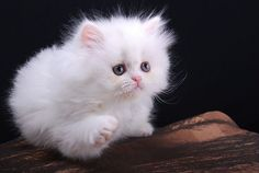 Images of white cats | cute white kitten persian cat pic