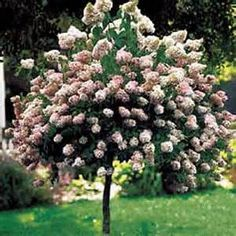 Pinky Winky Hydrangea paniculata. Can be trained as standard.