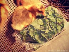 DIY Brooder Box Herbal Sachets for Baby Chicks and Ducklings   Fresh Eggs Daily®