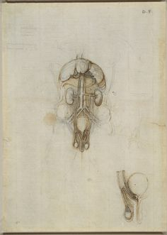 Leonardo da Vinci, 1452-1519, Italian, A male torso showing genito-urinary system, liver, spleen and stomach, 1508/09. Pen, brown ink and black chalk, 26.3 x 18.9 cm. Royal Collection Trust, Windsor. High Renaissance.