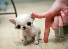 Tiny chihuahua!!! by leah