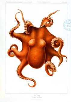 Animal of the Cabinet of Curiosity by Albertus Seba - The Octopus, a Cephalopod