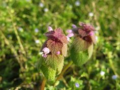 Purple dead nettle is a surprisingly abundant herb which could be growing near you. Here are some compelling reasons why you should go out and find it now.