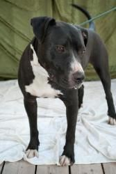 Bo is an adoptable American Staffordshire Terrier Dog in Polson, MT. Bo was transferred from Priest River ID rescue as not many homes for Bully Breeds up there He is a great young man. He gets along w...