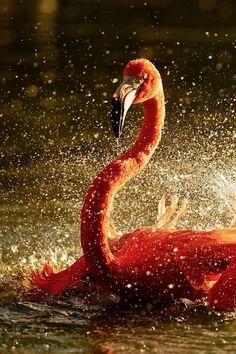 Golden Flamingo|Adrian Tavano