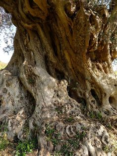 Jeffrey Bale's World of Gardens: February 2013 Olives, Tree Story, Who Is Jesus, Unique Trees, Olive Gardens, Olive Tree, Tree Art, Natural World, Nature Photos