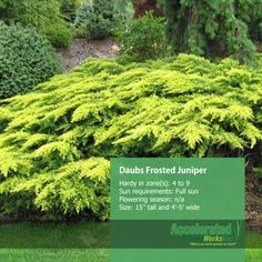 Daub's Frosted Juniper
