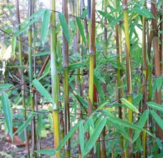 Red Dragon Bamboo (Fargesia sp. Jiuzhaigou) is hardy in zones 5 through 9. I've been to a local zoo and there is a beautiful pathway planted deeply with Bamboo. It can create a beautiful privacy environment.