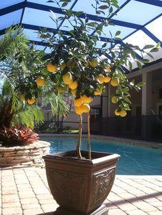Meyer Lemon Tree - Citrus x meyeri
