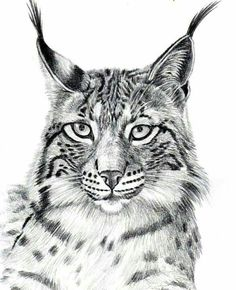 Drawing Wild Cats With Pencil - Lynx,Serval,Margay Cute Animal Drawings, Animal Sketches, Art Sketches, Lynx, Pyrography Patterns, Animal Graphic, Tattoo Graphic, Fox Art, Landscape Drawings