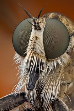 Jaw-dropping macro shot of a Robber Fly