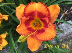 Eye of Ra Daylily photo by HappyGoDaylily