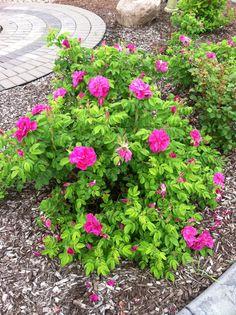 Hansa roses