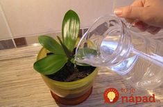 Regular watering orchids garlic + succinic acid (for viewers who are not familiar with irrigation) Growing Orchids, Apartment Balcony Decorating, Small Farm, Plant Care, Houseplants, Aloe, The Cure, Glass Vase, Organic