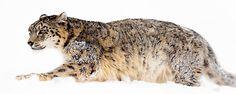 snowleopard - Chris Weston Filmmaking, Photographers, Wildlife, Top, Animals, Cinema, Animales, Animaux, Animais
