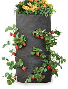 ways to grow strawberries on pinterest grow strawberries strawberries and strawberry tower. Black Bedroom Furniture Sets. Home Design Ideas