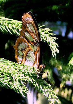 Butterfly ~ Title: Resting on a Branch  ~ Trina Prenzi